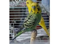Friendly chatty male budgie aprox 6 months old