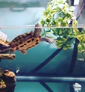 Red Eared Slider Turtle With Set Up/ Accessories