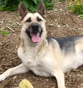meet adoptable Bonnie 5 yr SF German Shepherd X via aVoice4paws