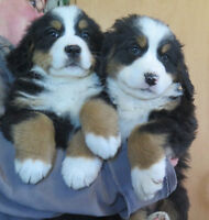 Bernese Mountain Dog pups and Golden Retreiver pups for sale