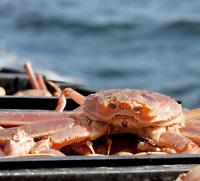 Commis préparation Crabe des neiges