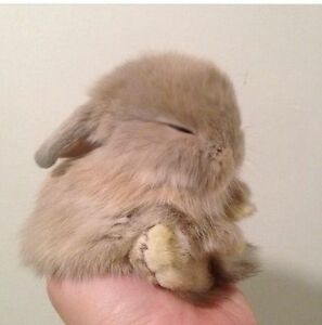 Only 2 Precious 6 week baby Mini Lop ready for a fur ever home!