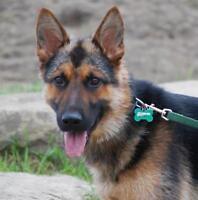 """Young Female Dog - German Shepherd Dog: """"Sasha"""""""