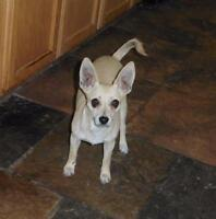 "Young Male Dog - Chihuahua: ""Pixel"""