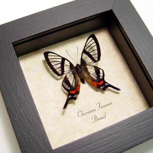 Real Framed Chorinea Faunus Sp Glasswing Swallowtail Butterfly 447