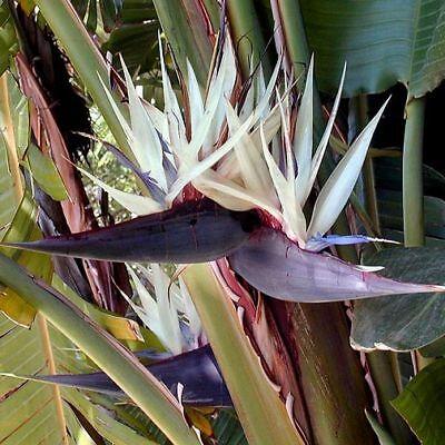 Strelitzia nicolai GIANT WHITE BIRD OF PARADISE ~SEEDS~