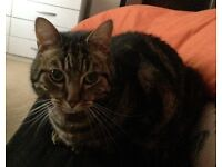 Lost Missing 6 year old short haired Tabby cat missing from Fir Tree Drive Area