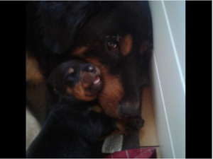 Rottweiler Puppies 1x Males, 2x Females