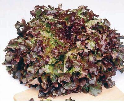 Vegetable - Lettuce - Red Salad Bowl - 1000 Seeds - Economy Red Salad Bowl
