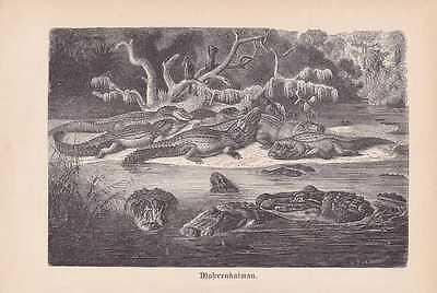 Mohrenkaiman Melanosuchus niger Holzstich von 1890 Schwarzer Kaiman Alligator