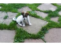 jack Russell cross flea and worm 8 weeks