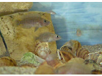 Malawi cichlids Shell Dwellers young for sale
