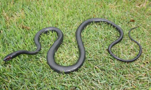 """Black Racer Snake - 48"""" Rubber Snake Replica"""