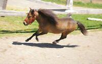 Bay Miniature Horse For Sale
