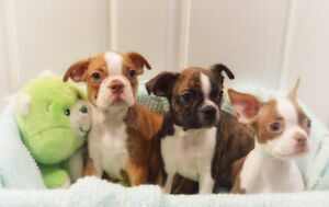Red, Brindle, & Black Boston Terriers Available