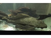 3 large plecos for free if collected today !