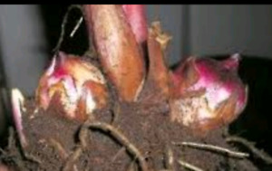 Canna lily tubers