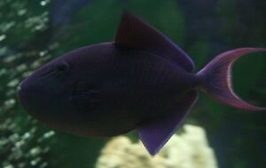Trigger fish London Ontario image 3