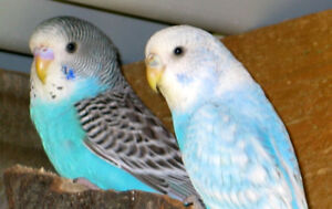 Looking for Male Budgies