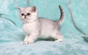 Exotic Shorthair kitten - rare color