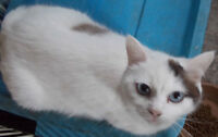 Himalayan/ siamese cat for sale