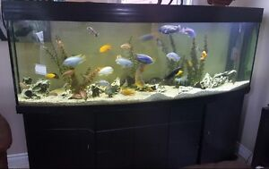 180 gallon bow front fishtank with cabinet and fish