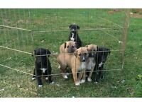Lurcher puppies