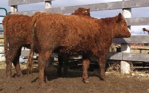 Red Galloway Heifers (2 Sold. 1 left)