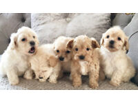 Tiny Malti poo babies NOW OPEN TO RESERVE!!