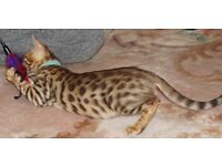 BENGAL KITTENS FOR SALE, NORTHAMPTON, LOTS EXTRAS..