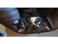 two kittens together for sale