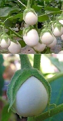 ☼ Eierbaum Solanum mit violetten Blüten ☼ wächst extrem schnell ♪ Saatgut ♪ ... (Saatgut Schnell)