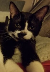 "Young Male Cat - Domestic Short Hair: ""Romeo"""
