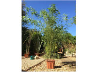 Free Bamboo Plants