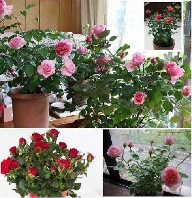 Zimmerrosen exotische blühende duftende Pflanzen Blumen für die Wohnung Dekoidee