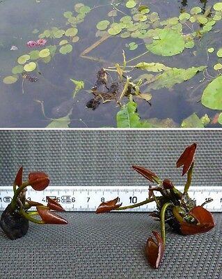 Bonsai Seerose rosa Schwimmpflanzen Pflanzen für den Gartenteich Teichpflanzen