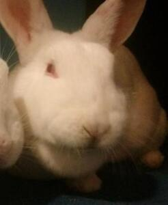 """Young Female Rabbit - New Zealand: """"Violet"""""""