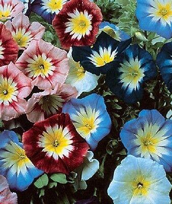 - Dwarf Morning Glory Seeds, Farm Mix, Ensign Morning Glories, Heirloom, 75 Ct