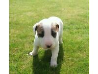 English bull terrier x puppy