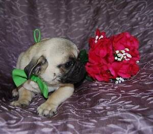 7/8 male pug puppy, DNA tested parents Baradine Warrumbungle Area Preview