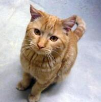 "Adult Male Cat - Domestic Short Hair: ""Theo - ON TRIAL"""