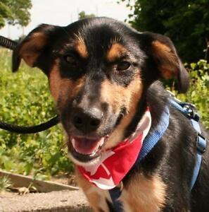 Young Female  - German Shepherd Dog-Terrier