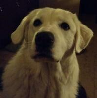 "Young Female Dog - Great Pyrenees-Akbash: ""Lilly"""