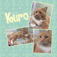 "Adult Male Cat - Domestic Long Hair - orange and white: ""Kuro"""