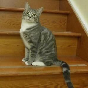 """Young Female Cat - Domestic Short Hair: """"Ironworks Ave"""""""