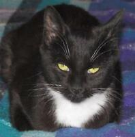 "Young Female Cat - Domestic Short Hair-black and white: ""Josie"""