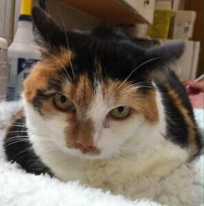 "Senior Female Cat - Domestic Short Hair: ""Callie"""