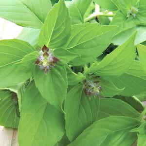 BASILICO-LIME-200-SEMI-Basilicum-Americanum-Lime-Basil-pianta-erba-aromatica