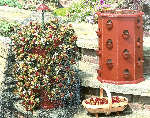 Strawberry Barrel Planter Growing Own Strawberries Grow Fruit & Veg Garden Patio
