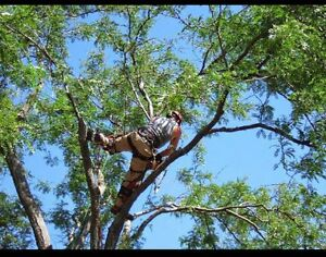 Ash tree removal ! Dangerous trees ? Call etree Oakville / Halton Region Toronto (GTA) image 4